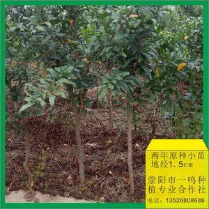 软籽石榴树苗 二年苗小苗 地径0.58-1.2