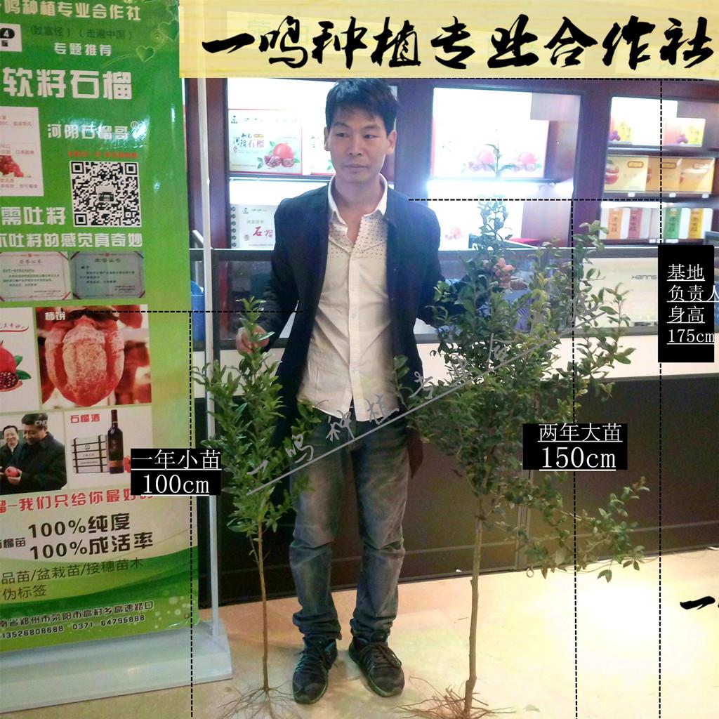 软籽石榴树苗,一年苗,地径0.7-0.9cm,100%纯度
