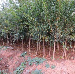 红如意软籽石榴 两年苗地径1.5cm左右
